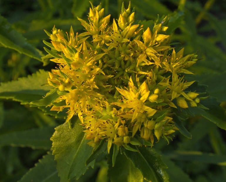 Rhodiola rosea adaptogenic plant in floral yellow bloom