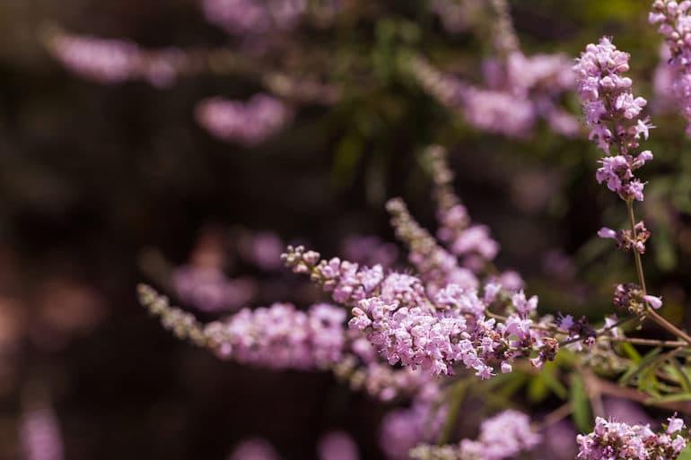 Chasteberry or Vitex Plant