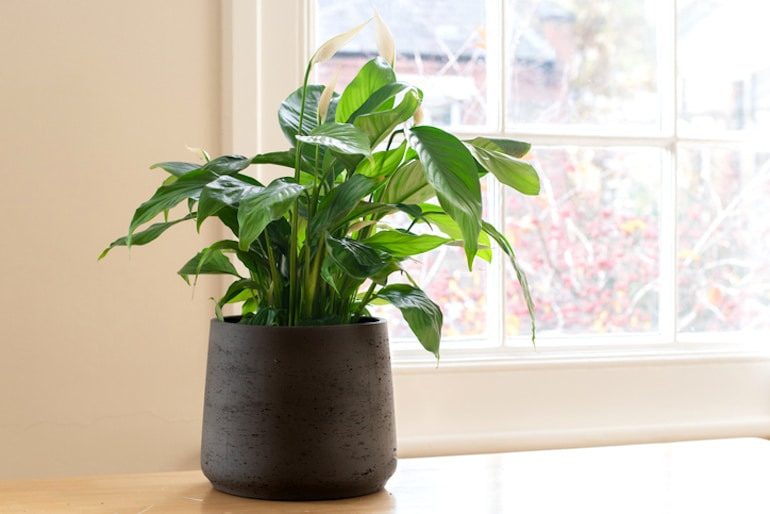 Peace lily house plant in a black pot on desk next to window