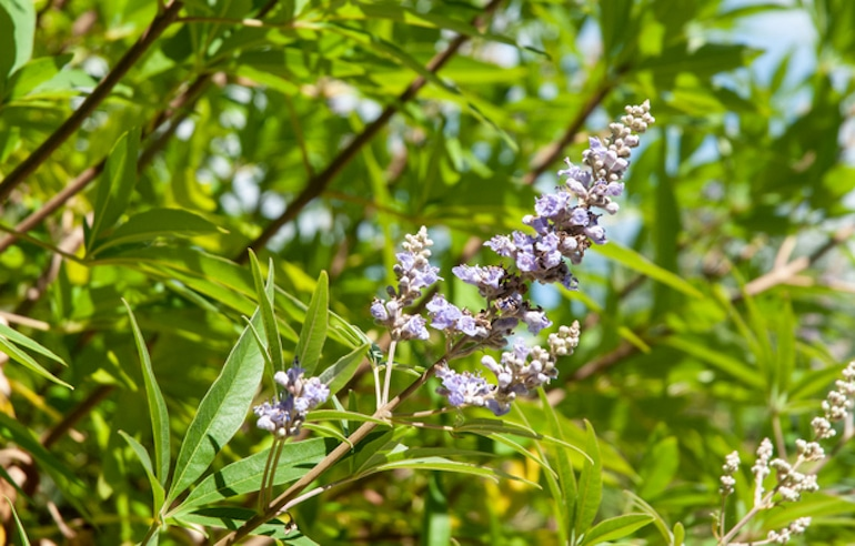 Vitex plant, aka chasteberry, a natural remedy for menopausal symptoms including hot flashes and night sweats