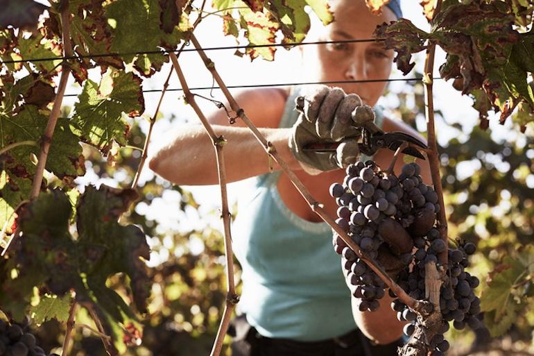 Female farmer cutting grapes on a vineyard