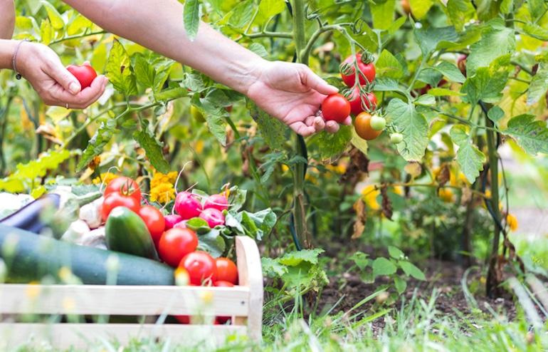 Mujer recogiendo productos frescos en una granja;  concepto de sostenibilidad ambiental