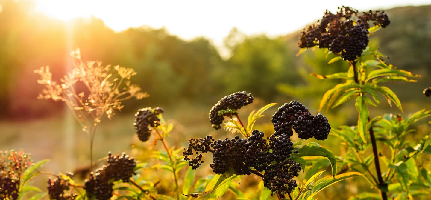 Clusters of elderberry in a field, which have benefits for immune support and more